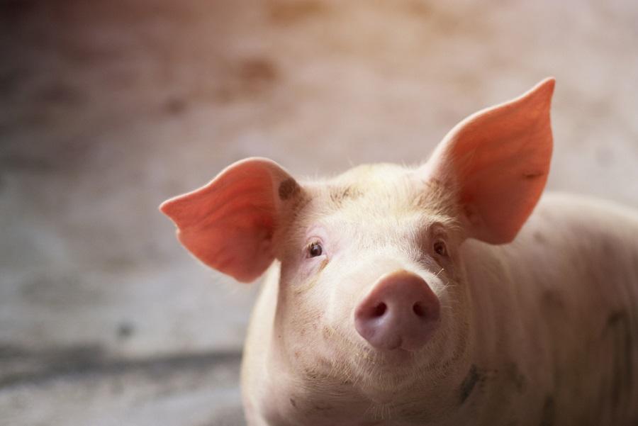 Az állati hullakezelés most különösen fontos, a hazai sertésállomány védelmében!